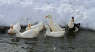 Stock Video Footage of Ducks In The Snow 02