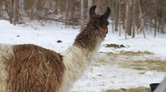Llama In The Snow 02 - stock footage