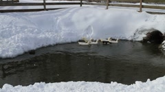 Ducks In The Snow 04 - stock footage