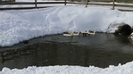 Stock Video Footage of Ducks In The Snow 04