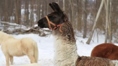 Llama In The Snow 03 With Goat & Pony Stock Footage