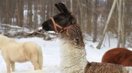 Stock Video Footage of Llama In The Snow 03 With Goat & Pony