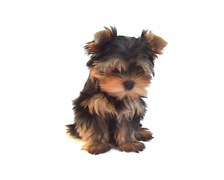 Yorkshire terrier puppy on white background  Stock Footage