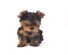 Stock Video Footage of Yorkshire terrier puppy on white background