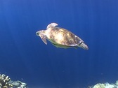 Stock Video Footage of Green Turtle swimming in sunlit ocean