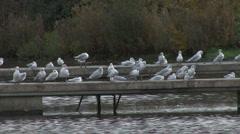 Black Headed Gulls in winter plumage rest, preen. Stock Footage