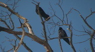 Stock Video Footage of crows in the trees