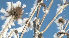 Thistle fozen in winter Stock Footage
