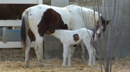 Baby horse nurses v2 Stock Footage
