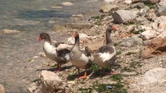 Toulouse Geese Stock Footage