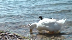 Goose foraging Stock Footage