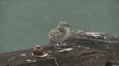 Seagul chick on wharf Stock Footage