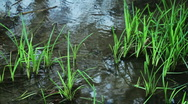 Stock Video Footage of Grass in water