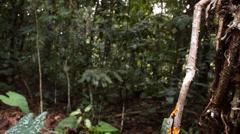 Amazon leaf frog (Cruziohyla craspedopus) Stock Footage