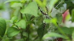 Black and Yellow Garden Spider Stock Footage