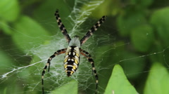 Garden Spider Stock Footage