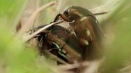 Stock Video Footage of June Bug Mating Cut