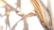 Farmers market, corn on stalk Stock Footage