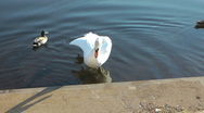 Stock Video Footage of Swan preening, standing in water close to steps of River