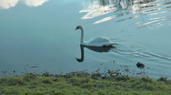 Stock Video Footage of Pair of swans swim in river One gets out of water onto grass preens feathers.