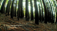 Stock Video Footage of Forest of Trees with Wide-Angle