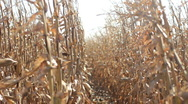 Beautiful corn fields Stock Footage