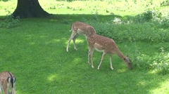 Deer Feeding Stock Footage