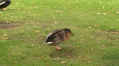 Duck in Park Stock Footage