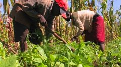 Two people tend crops in a field. Stock Footage