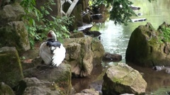 Muscovy Duck Stock Footage