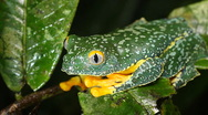 Stock Video Footage of Amazon leaf frog (Cruziohyla craspedopus)
