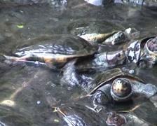 KekLokSi, turtles Stock Footage