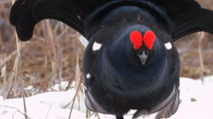 Black Grouse - stock footage