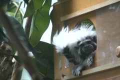 Cotton Topped Tamarin 2  Stock Footage