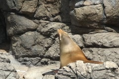 Sea lion3  Stock Footage