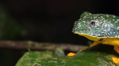 Amazon leaf frog (Cruziohyla craspedopus) - stock footage