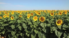 Endless Field of Sunflowers GFHD Stock Footage