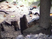 Stock Video Footage of Komodo dragon