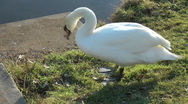 Stock Video Footage of Swan walks down grass by steps, gets into the water as another preens itself.