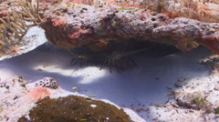 Lobster under a rock Stock Footage