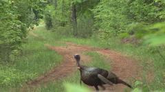 Wild Turkey Gobbler Stock Footage