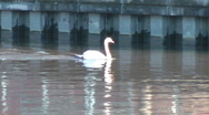Stock Video Footage of Close up of three swans swimming along urban river with zoom out