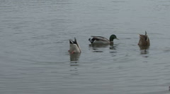 Ducks dabbling for food. Stock Footage