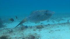 Filefish fish underwater Stock Footage