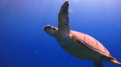 Turtle swim open ocean marine life Stock Footage