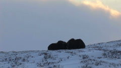Muskox in the wild Stock Footage