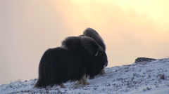 Muskox in the wild - stock footage