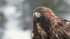 Golden Eagle in the wild Stock Footage