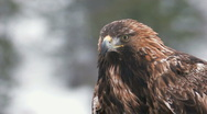 Stock Video Footage of Golden Eagle in the wild
