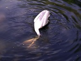 Stock Video Footage of Pelican searches for pabulum under water.